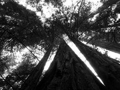 This picture was taken while walking through a large forest of Redwoods in California. Armstrong Redwoods near Healdsburg. Fine Art Photography, Nature Photography, San Francisco City, White Art, Taking Pictures, Looking Up, Black And White Photography, Fine Art America, Scale