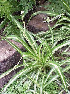 Non toxique beaucarn a pied d 39 l phant plantes vs chats pinterest pieds plantes et - Plante verte appelee pied d elephant ...