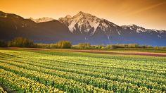 Тюльпаномания и поля тюльпанов в Голландии - Путешествуем вместе