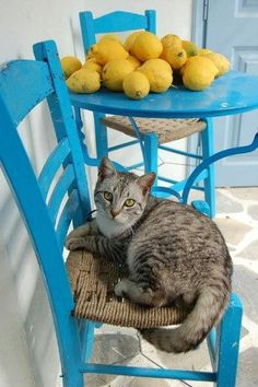 Silver tabby cat on blue chair