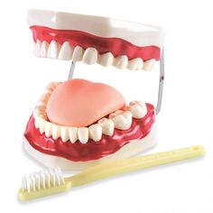 """Introduce the parts of the mouth and demonstrate the proper techniques for brushing teeth and gums using this large laboratory-quality model. Hinged jaw simulates the opening and closing of the mouth.   Model has a moveable tongue and comes complete with an oversize (9"""") demonstration toothbrush and detailed key. Hand-painted plastic model measures 6"""" x 5"""" x 4"""" high."""