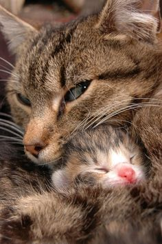 mama cat and kitten Cute Cats And Kittens, I Love Cats, Crazy Cats, Kittens Cutest, Ragdoll Kittens, Tabby Cats, Bengal Cats, White Kittens, Black Cats