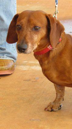 Adopt Suey Adopted On Dachshund Doxie Dachshund Dog