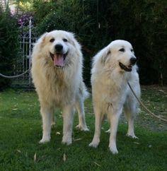 maschio e femmina di Cane da montagna dei Pirenei