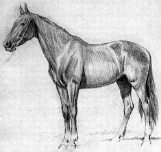 """Клуб-изостудия """"Живой Карандаш"""": Уроки мастерства - Как рисовать лошадь (по материалам книги А.Лаптева) - Рисунки животных, анималистика, сообщество художников, живая природа в картинках"""