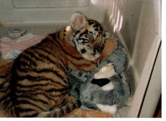 bengal tiger cubs   Cute Bengal Tiger cub sleeping with stuffed toy ...   Cute Animalssss ...