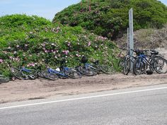 Bikes and beach roses by Fonzmom, via Flickr