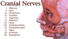 Graphic menu of cranial nerves on Yale.edu!! Good info! @Ana Navarro