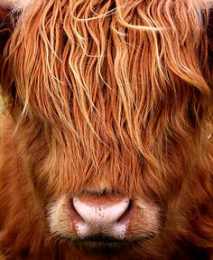 Think I need A Haircut. A young Highland Cow.  byalphazeta-off