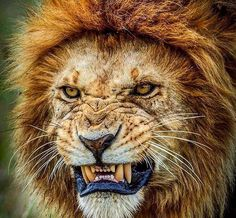 """2,752 Likes, 17 Comments - LION (@lions) on Instagram: """"Stay hungry⠀ #lion #lions #lioness #lionking #pride #zoo #safari #cats #king #cub #cubs…"""""""