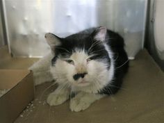 SUPER STAR - 17104 - - Manhattan  ***TO BE DESTROYED 01/04/18***SUPER STAR NEEDS SUPER FOSTER OR ADOPTER! Two year old, Super Star is a healthy and neutered boy who needs a kind and patient purrson to give him a chance to warm up to people. Please be this deserving boy's hero by offering temporary or purrmanent safe haven. Contact a New Hope rescue if you can help. MUST BE RESERVED BY NOON TOMORROW! -  Click for info & Current Status: http://nyccats.urgentpodr.org/s