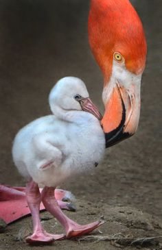 A four day old Caribbean flamingo takes its first steps at the San Diego Zoo with some close supervision from mom Flamingo Wallpaper, Flamingo Art, Pink Flamingos, Animals And Pets, Baby Animals, Cute Animals, Animal Babies, Love Birds, Beautiful Birds
