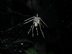 A new speices of spider ... can make fake body to protect itself plus attracting predators ...