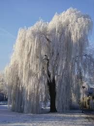 Image result for weeping trees