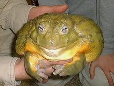 "African Bull Frog aka Pixie frog...What!!!  There's nothing ""pixie"" about the size of this guy!"