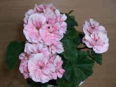Geraniums Garden, Flora, Short Hairstyles For Women, Short Hair Styles, Rose, Plants, Bob Styles, Pink, Short Hair Cuts