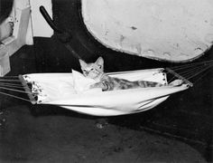 War Kitties in Hammocks: Carriers and other vessels got infested with rodents. So cats were not just moral boosters (which they very much were) they were also working members of the crew.