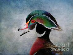 wood duck art. Wildlife