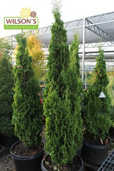 Degroots Spire Arborvitae, these look like Hinoke but are skinny and tall