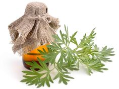 Wormwood Essential Oil Benefits and Uses You Need! [And Never Knew. Essential Oils For Nausea, Ginger Essential Oil, Essential Oils Guide, Essential Oil Uses, Artemisia Annua, Artemisia Absinthium, Get Rid Of Nausea, Organic Oil, Kraut