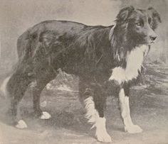 In September 1893,(120 years ago this month)... there was a Dog Born. He would come to be known, as the Father of the Border Collie Sheepdog. His legacy lives on...So take a moment... Pat, Hug and Kiss your Border Collie... and Raise a Glass, to the greatest Dog, that ever lived...'Auld Hemp'