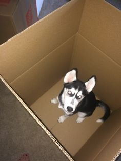 Somebody is ready for the moving @amber__husky.  #Amber #Husky #Puppy 4 months old