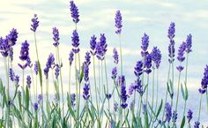 Keep Winter Woes Away With Lavender Oil | Self-help Health