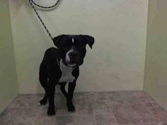 TO BE DESTROYED SUN. 09/14/14 ~Manhattan Center   TYSON - A1013315   MALE, BLACK / WHITE, PIT BULL MIX, 1 yr STRAY - STRAY WAIT, NO HOLD Reason ABANDON  Intake condition EXAM REQ Intake Date 09/07/2014, From NY 10457, DueOut Date 09/10/2014,