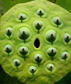 Lotosy (lat. Nelumbo) patří do čeledi lotosovitých rostlin (lat. Nelumbonaceae). Existují pouze dva druhy pravého lotosu - lotos indický (lat. Nelumbo nucifera) a lotos žlutý (lat. Nelumbo lutea). Lotos indický je znám také pod synonymním názvem lotos ořechonosný či ořešinec sličný.
