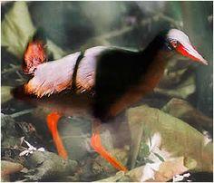 NEW BIRD SPECIES | Calayan rail' is new bird species found in remote northern Philippine ...