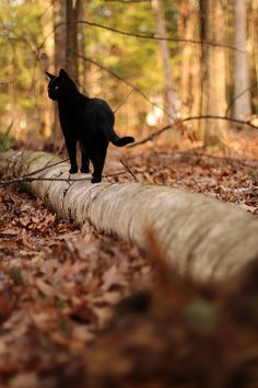 autumndreaming: Need a little NOW. Kthxbye-- This is a beautiful black cat walking along a fallen tree log. The autumn background with the black cat, gives this photo a real Halloween feel. Crazy Cat Lady, Crazy Cats, Beautiful Cats, Animals Beautiful, Beautiful Creatures, Beautiful Pictures, I Love Cats, Cute Cats, Funny Cats