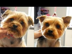 Grooming Guide - How to Groom a Yorkshire Terier #12 - YouTube