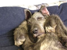 Sleeping Irish Wolfhound :) Oh goodness Russ so looks like an IW. Every time I see an IW I can't get over the resemblance. So cute!