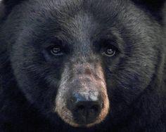 Veteran Wildlife Lawyer: Trying To Stop Florida Black Bear Hunt An Uphill Battle | WJCT NEWS