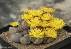 plant-faery:  Dinteranthus microspermus ssp. puberulus by Etwin1 on Flickr.