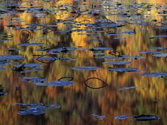 American Lotus in Autumn, Lake of the Ozarks, Missouri, USA Photographic Print