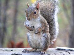 Écureuil gris, écureuil américain, invasif en Europe