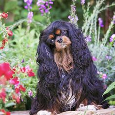 Cavalier King Charles Spaniel by Leanne Newman Cavalier King Spaniel, Cavalier King Charles Dog, King Charles Spaniel, Beautiful Dogs, Animals Beautiful, Cute Animals, Puppy Palace, Cute Dog Pictures, Spaniel Puppies