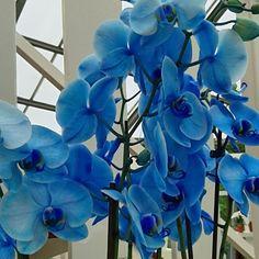 Gorgeous blue orchids.  #travel #netherlands #holland #keukenhof #flowers #floweradmirer #orchids #keukenhoforchids #blueorchid by amcdangerfield