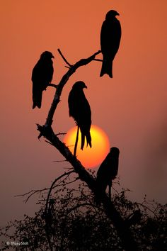 Black kites, red sunset