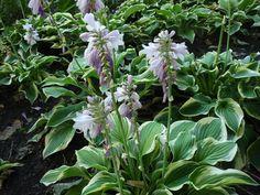 nagy árnyékliliom Oregon, Plants, Image, Gardening, Garten, Planters, Lawn And Garden, Garden, Plant