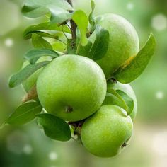 Granny Smith Apples Kill of Cervical Cancer Cells in Vitro - Complete Health and Happiness Fruit And Veg, Fruits And Vegetables, Apple Farm, Fruit Photography, Photography Backdrops, Reduce Body Fat, Beautiful Fruits, Appetite Control, Cervical Cancer