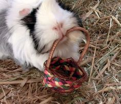 GuineaPic 68 by *SimplePlan007 on deviantART