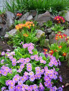 Primula vulgaris Flower