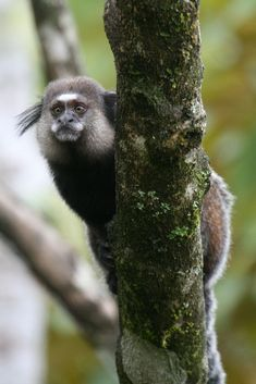 This is Wied's marmoset! Also called Wied's black-tufted-ear marmosets. Native to eastern Brazil. They live in groups of 4-5 females, 2 or 3 males, and their offspring. Matriarchal, only the dominant female reproduces. Threatened by habitat loss and forest fragmentation from cattle ranching and agriculture, plus road accidents, electrocution, and collection for the pet trade: populations are decreasing. They are Vulnerable. Photo credit: Kenny Ross14/Flickr/Creative Commons. Read their…