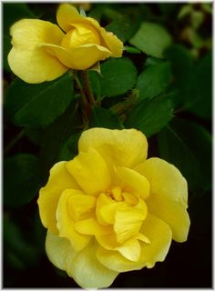 Yellow knock-out roses - like their knock-out cousins - these are easy to grow and bloom all summer! Think I'd like to try these.