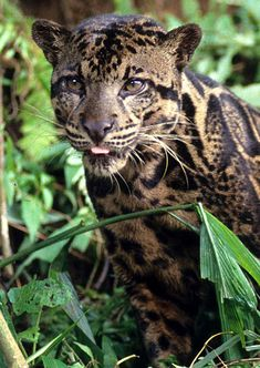 Newly discovered leopard species- a Bornean Big Cat. That little pink tounge hides the biggest fangs in the cat world!