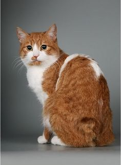 How to Groom a Japanese Bobtail Cat.Click the picture to read