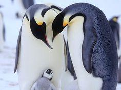【奇趣紀錄片:企鵝群裡有臥底】