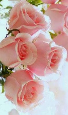 Gorgeous pale pink roses - As rosas e o seu simbolismo _ Rosas cor-de-rosa: gratidão, agradecimento, o feminino (muitas vezes aparece simbolizando o útero em algumas culturas, como o gineceu está para a cultura ocidental - ver cor-de-rosa)